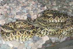 En cautiverio nacen 23 serpientes cascabel