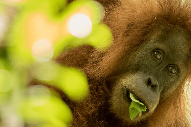 Se encontró nueva especie de orangután, pero está en peligro de extinción