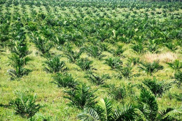 ¡Los cultivos de palma, podrían dejar sin aves al piedemonte Llanero!