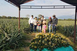 Primera cosecha de piña de la Asociación de Productores Agrosant, de Aguazu
