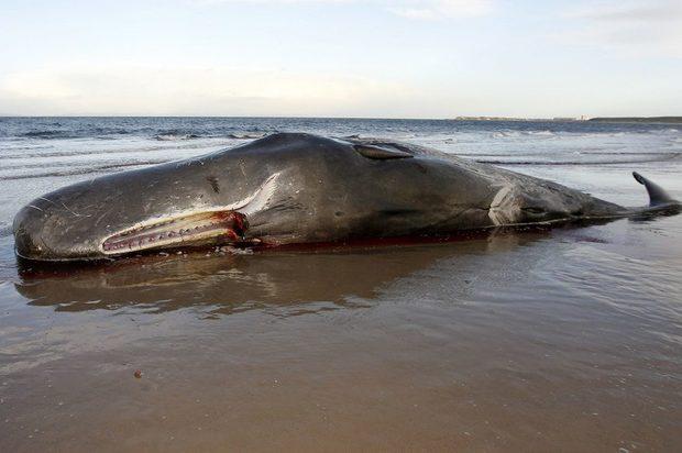 El Cachalote que murió después de tragar 29 kilos de plástico