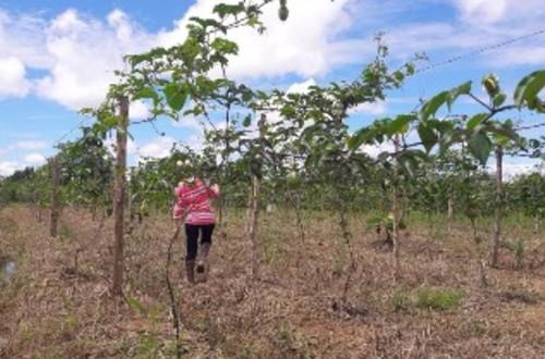 En un mes saldrá la primera cosecha de Maracuyá producida en Villavicencio