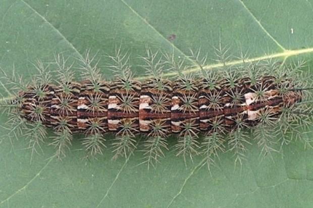 Alerta por presencia del insecto churrusco o lonomia