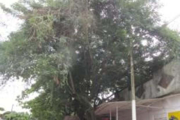 Árbol en riesgo en el municipio de Puerto López