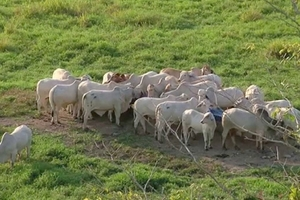Carneo de ganado aumenta donde no hay redes de comunicación