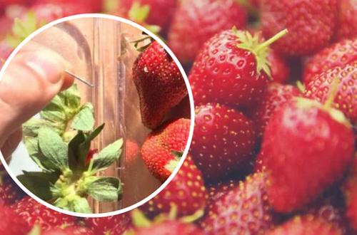 Agujas de coser dentro de las fresas causa pánico en Australia