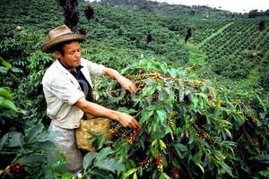 Hay déficit de recolectores de café en Risaralda