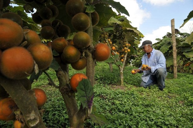 En noviembre estará lista la primera cosecha de lulo en Villavicencio
