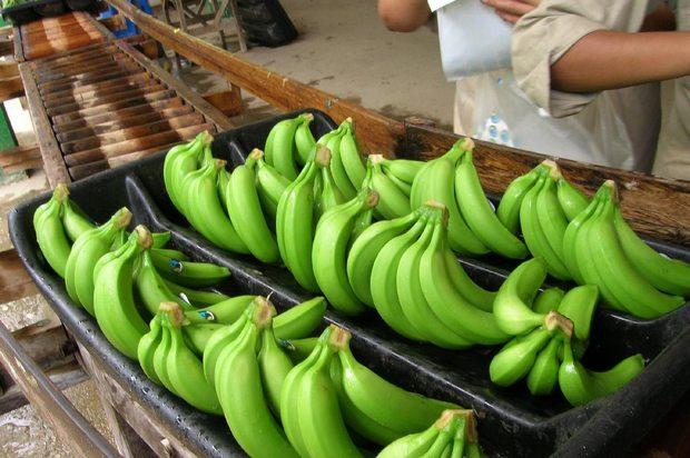 Certificación y registro de semilla de plátano en el Meta