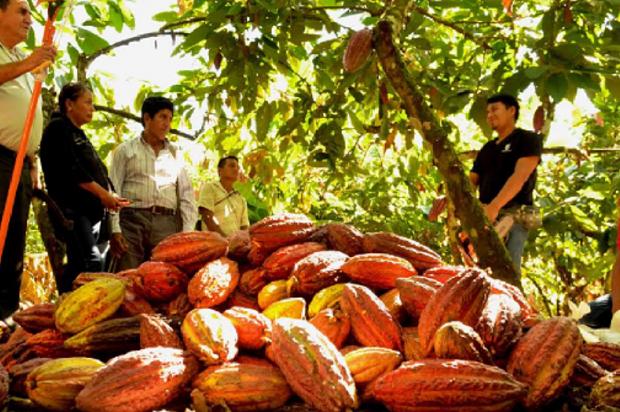 Nuevo proyecto de producción de Cacao y plátano en Villavicencio
