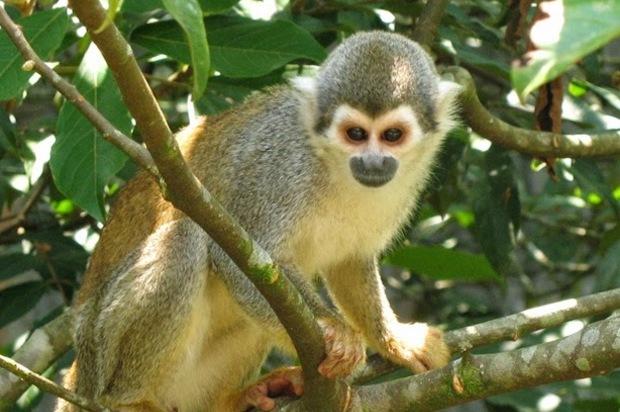Autoridades ambientales piden que no se alimente a los monos Tití