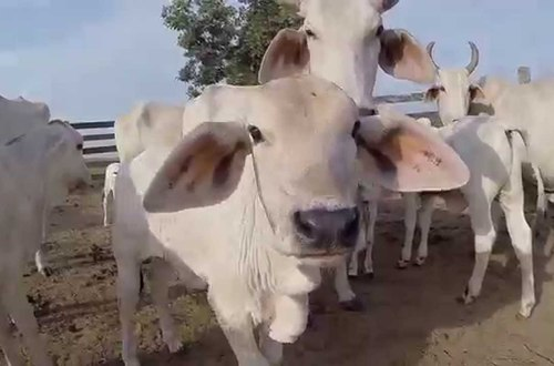 De una patada vaca mató a un hombre en San Martín, Meta