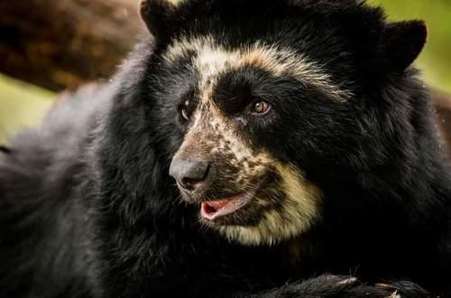 21 de febrero día mundial para la protección de los osos