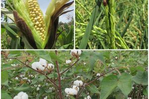 Riesgos de sembrar semillas ilegales