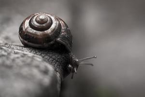 Conozca los peligros del caracol gigante africano