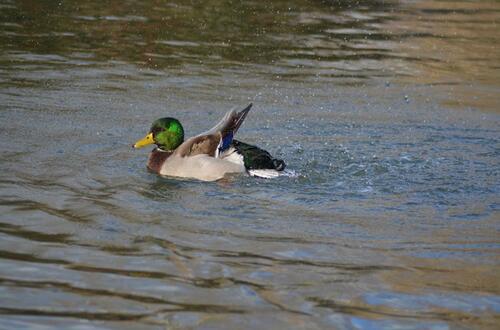 Realizan censo de aves acuáticas en Villavicencio