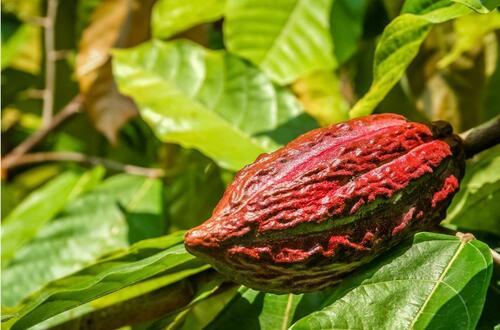 Familias cacaoteras se certifican ante el ICA