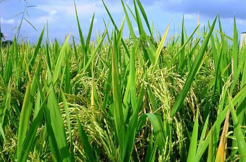 Minagricultura apoyará comercialización de arroz
