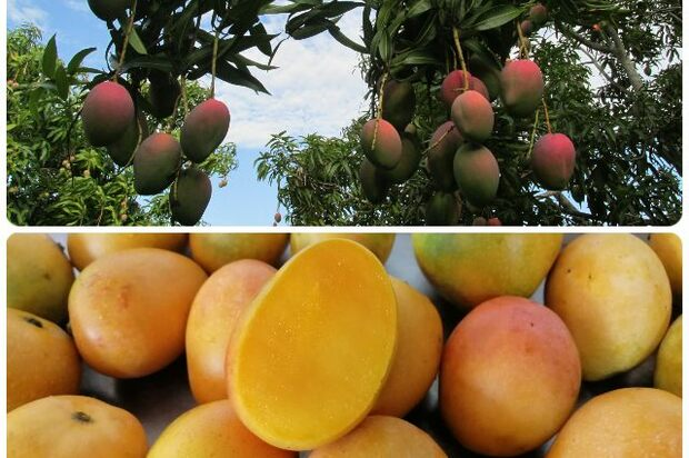 Colombia amplió número de predios de mango para exportar