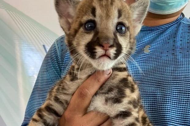 Puma será criado de manera artificial