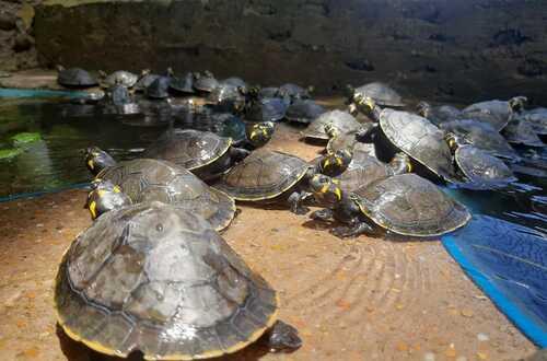 Tortugas criadas en La Macarena en buen estado
